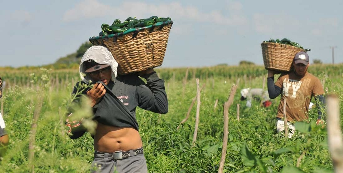 La pobreza los expulsa para laborar a mano en tumos hasta de 15 horas