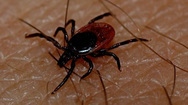 Suman 23 muertes por rickettsia en Sonora